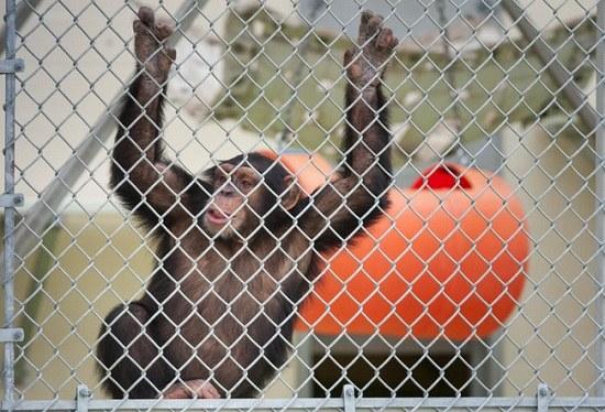 美国组织为黑猩猩申请法人地位助其获有限自由