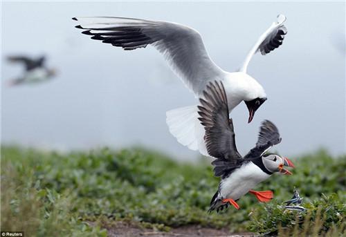 今年的调查发现,大约有4万对海鹦在岛上筑巢繁衍。