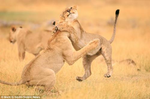 幼狮腾空热情强抱小伙伴满脸幸福温馨萌人(图)