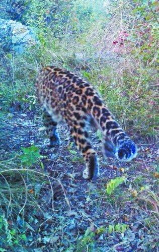 当地林业部门提供的之前拍到的金钱豹照片