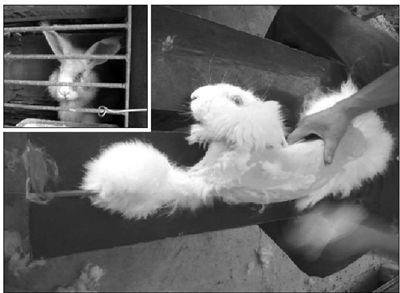 兔子被捆在一长凳上,直接进行拔毛(大图)。拔完毛后,兔子被关在笼子里(左上图)。 PETA Asia供图