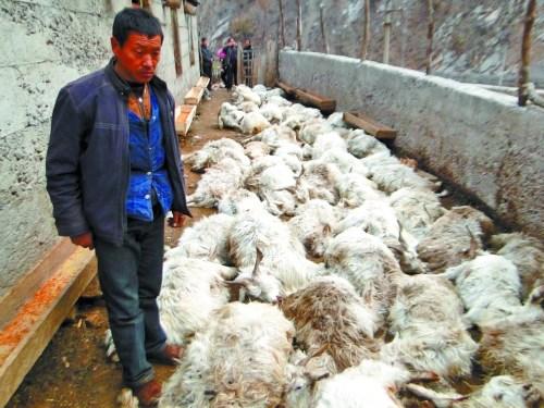 看着死去的羊,受损农户欲哭无泪。