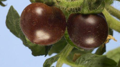 转基因紫色西红柿含花青素可抗癌防糖尿病(图)