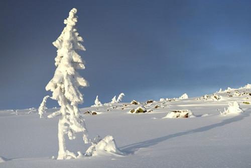 瑞典发现世界最古老树木9500岁仍在生长(图)