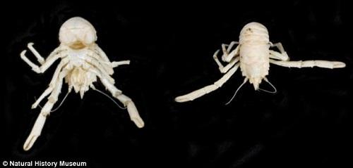 """南非发现新型白色""""龙虾""""取名""""曼德拉""""(图)"""