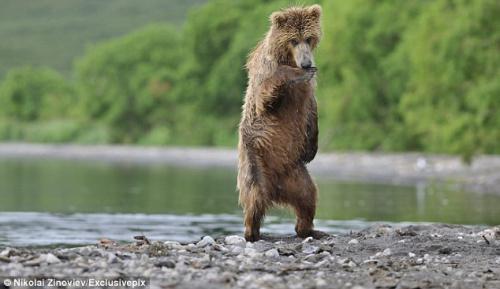 俄罗斯棕熊看到姐妹后异常兴奋,大跳江南Style。