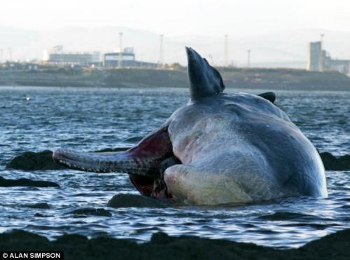 这头抹香鲸是死后被海水冲刷到英国的浅滩。