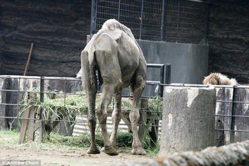骆驼瘦的只剩下了皮包骨。