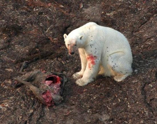 研究称受全球变暖影响北极熊觅食转向陆地(图)