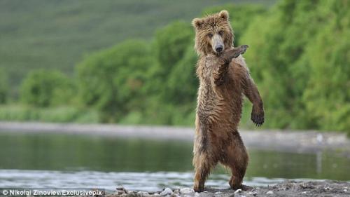俄罗斯棕熊看到姐妹后异常兴奋,大跳江南Style,一招一式都十分可爱。