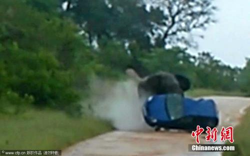 狂躁的大象用鼻子将汽车掀翻。