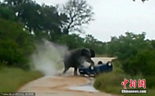 据称,大象的突然袭击导致汽车翻滚了三圈。
