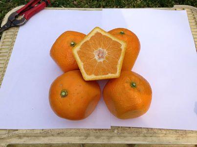 五角形橙子