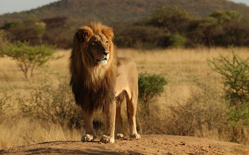 研究称西非狮子濒临绝种因农地侵蚀其栖息地