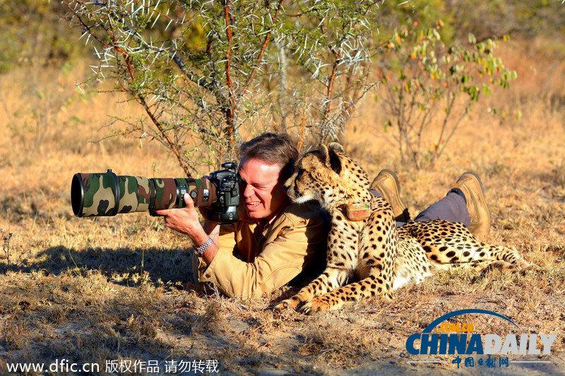 南非猎豹依偎在摄影师身边 好奇看取景器让摸头