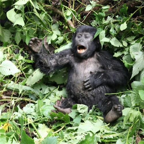 小猩猩不断捶打自己胸部表露坚强。