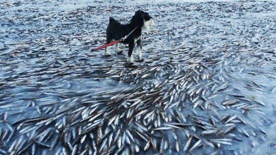 挪威寒冷鱼群被冻僵凝固冰层内持游弋姿态(图)
