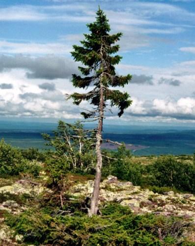 瑞典中部发现世界最古老树木 9500岁还在继续生长(网页截图)