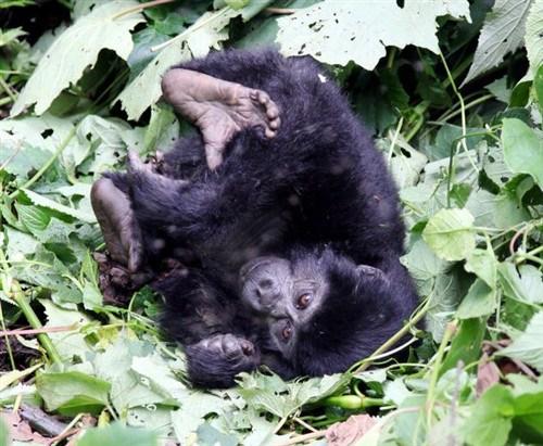小猩猩在地面上翻滚玩耍。