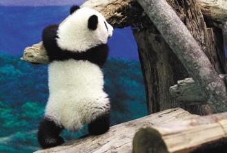 """台北大熊猫""""圆仔""""受欢迎台方盼其长留台湾"""