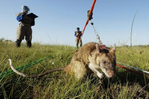 英国协助非洲小国训练大老鼠帮助搜寻地雷(图)