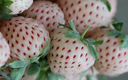外形是白草莓其实尝起来像菠萝