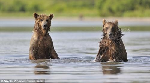 亲人团聚好不开心,两只棕熊在水中嬉戏了一个小时。(图片来源:《每日邮报》)
