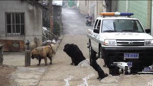 车里伸出麻醉枪口,可是大狗皮厚毛多,麻醉枪都打不进去。