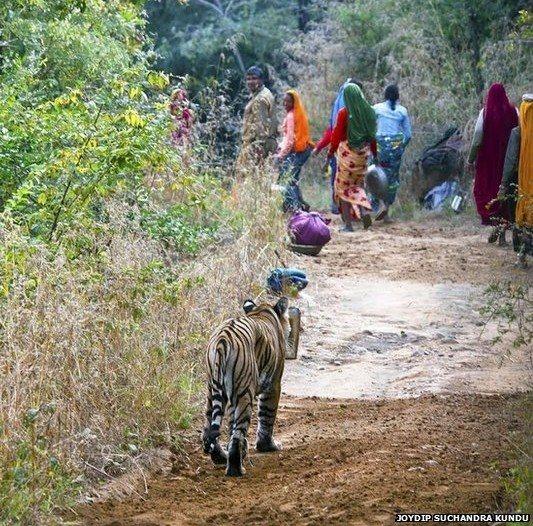 印度吃人老虎被击毙3名女性遇害引发当地恐慌