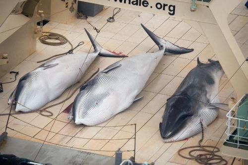 反捕鲸团体称日本捕杀4条鲸鱼场景血腥(组图)