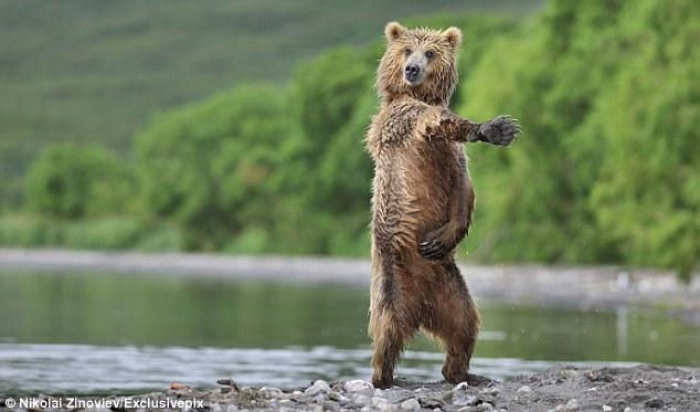 俄罗斯棕熊见到姐妹兴奋异常大跳江南Style(图)