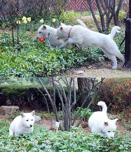 """韩国总统官邸里的两只珍岛犬""""小新""""和""""小希""""。"""