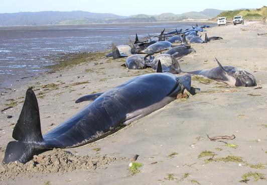 新西兰再出现大规模鲸鱼搁浅科学家仍不知其故