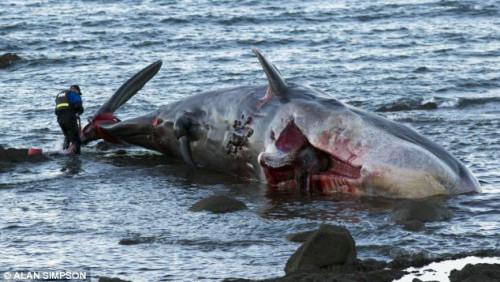 这是一头雄性抹香鲸,体长大约有4.5米。