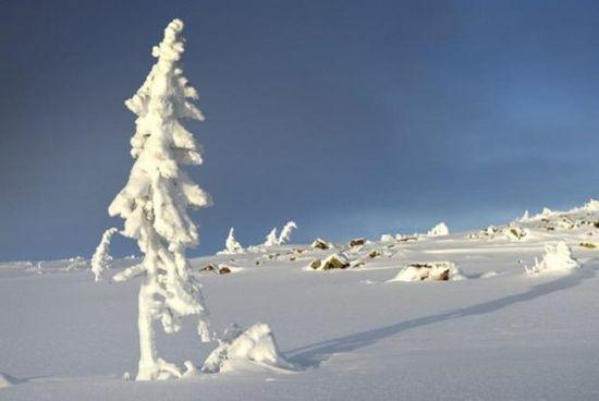 瑞典中部发现世界最古老树木 9500岁还在继续生长