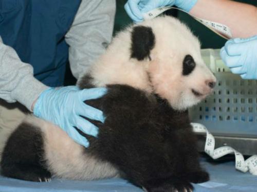 美国动物园可爱大熊猫幼崽将公开亮相吸睛(图)