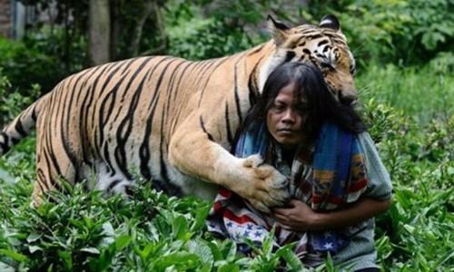 印尼男子养老虎当宠物老虎常扑身上撒娇(图)