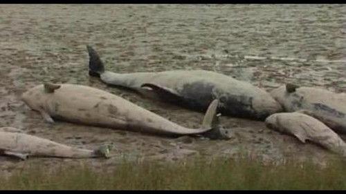 美国佛罗里达州西南海岸23日再发现25头死亡的领航鲸。