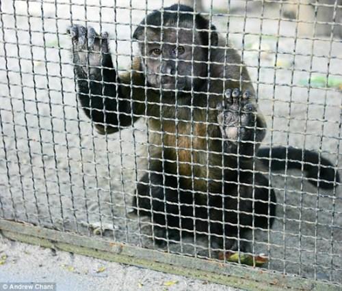 猩猩被关在牢笼里,露出可怜想逃离的眼神。